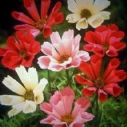 Cosmos Sea Shells Mix - appx 360 seeds
